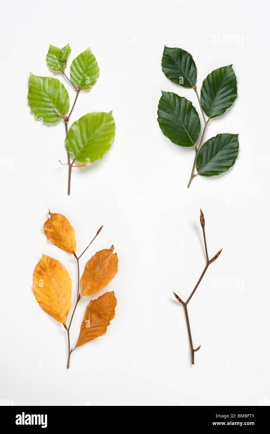 Beech twigs in spring, summer, autumn and winter. Fagus sylvatica. Digital composite. UK. - Stock Image