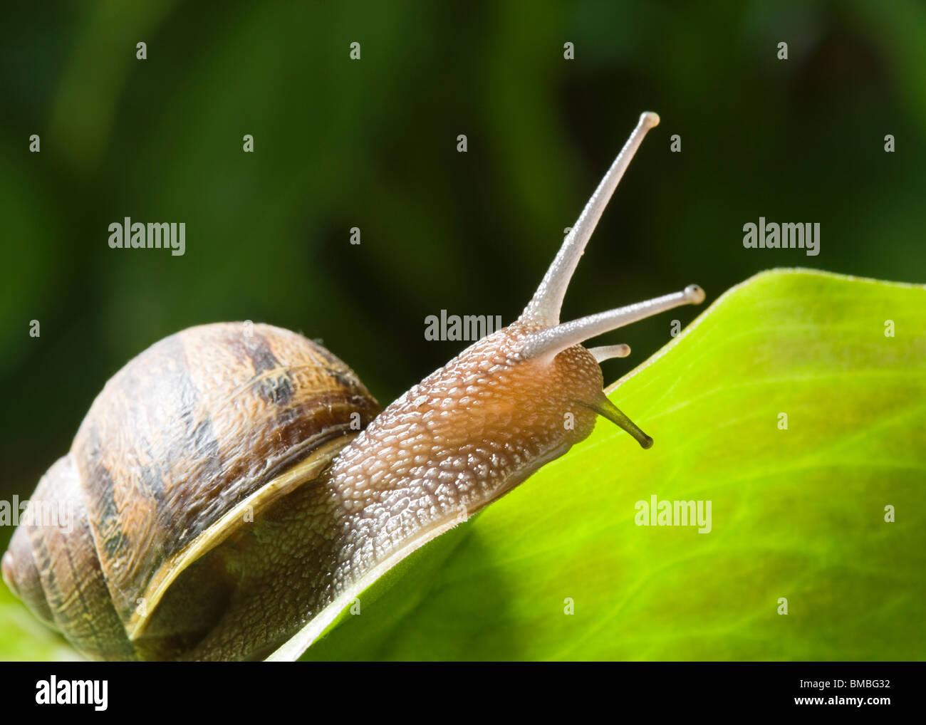 Garden snail, Helix aspersa. - Stock Image