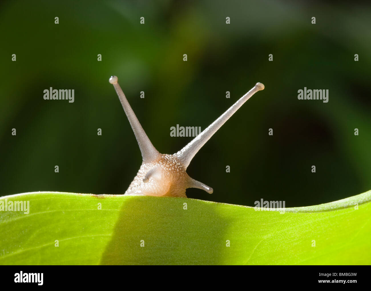 Garden snail, Helix aspersa. Stock Photo