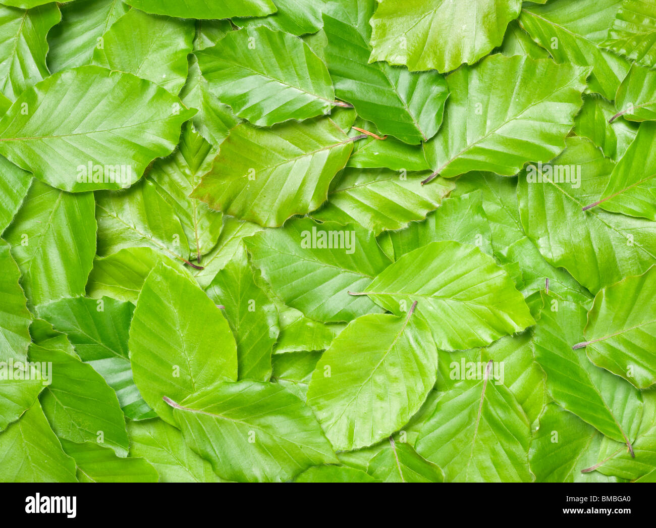 Beech leaves, Fagus sylvatica. - Stock Image