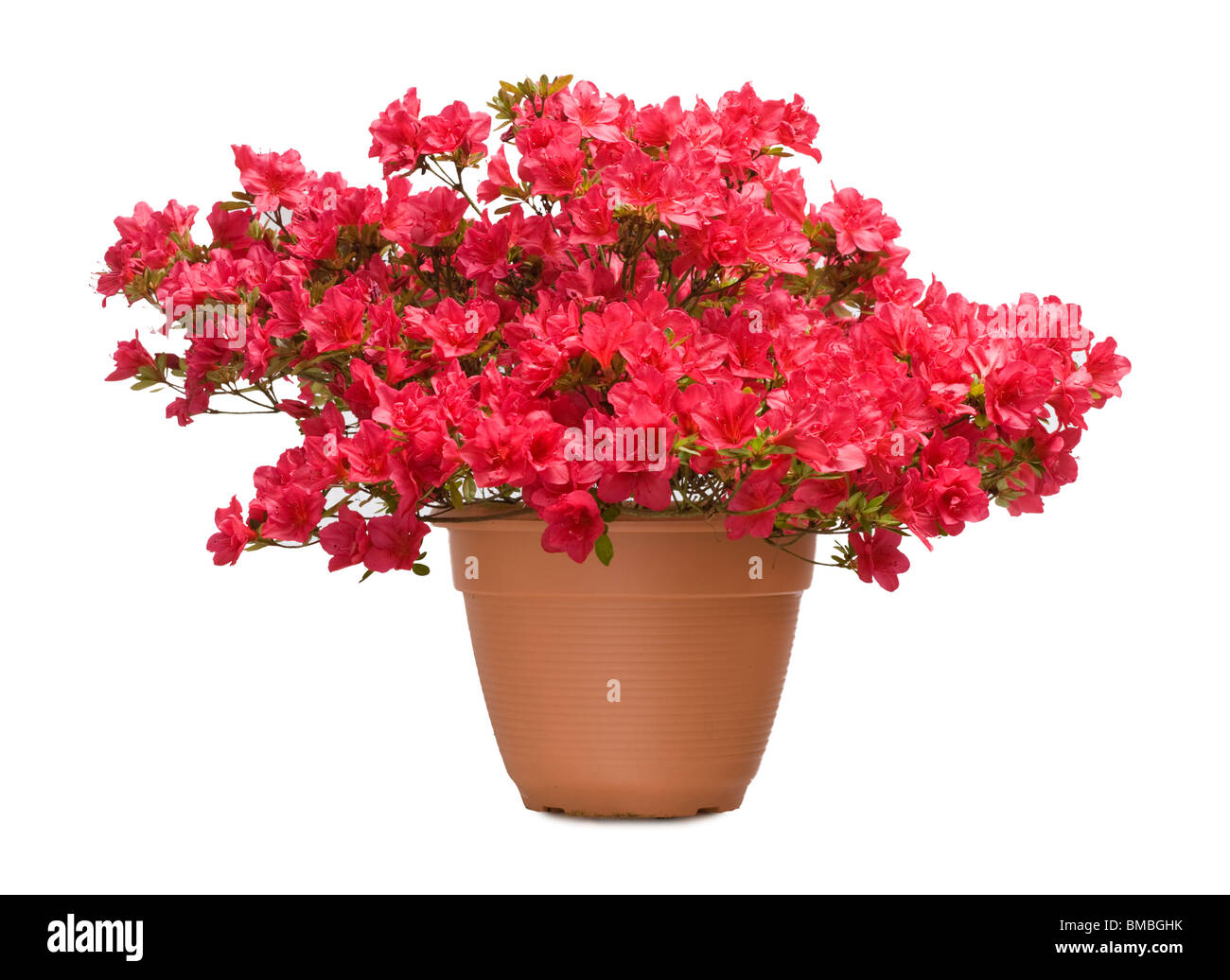 Azalea 'Nico' in pot Stock Photo