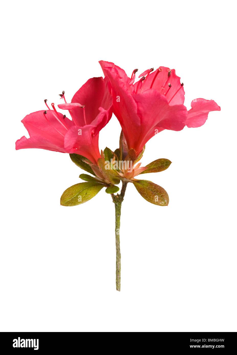 Azalea 'Nico'. Flower close up - Stock Image