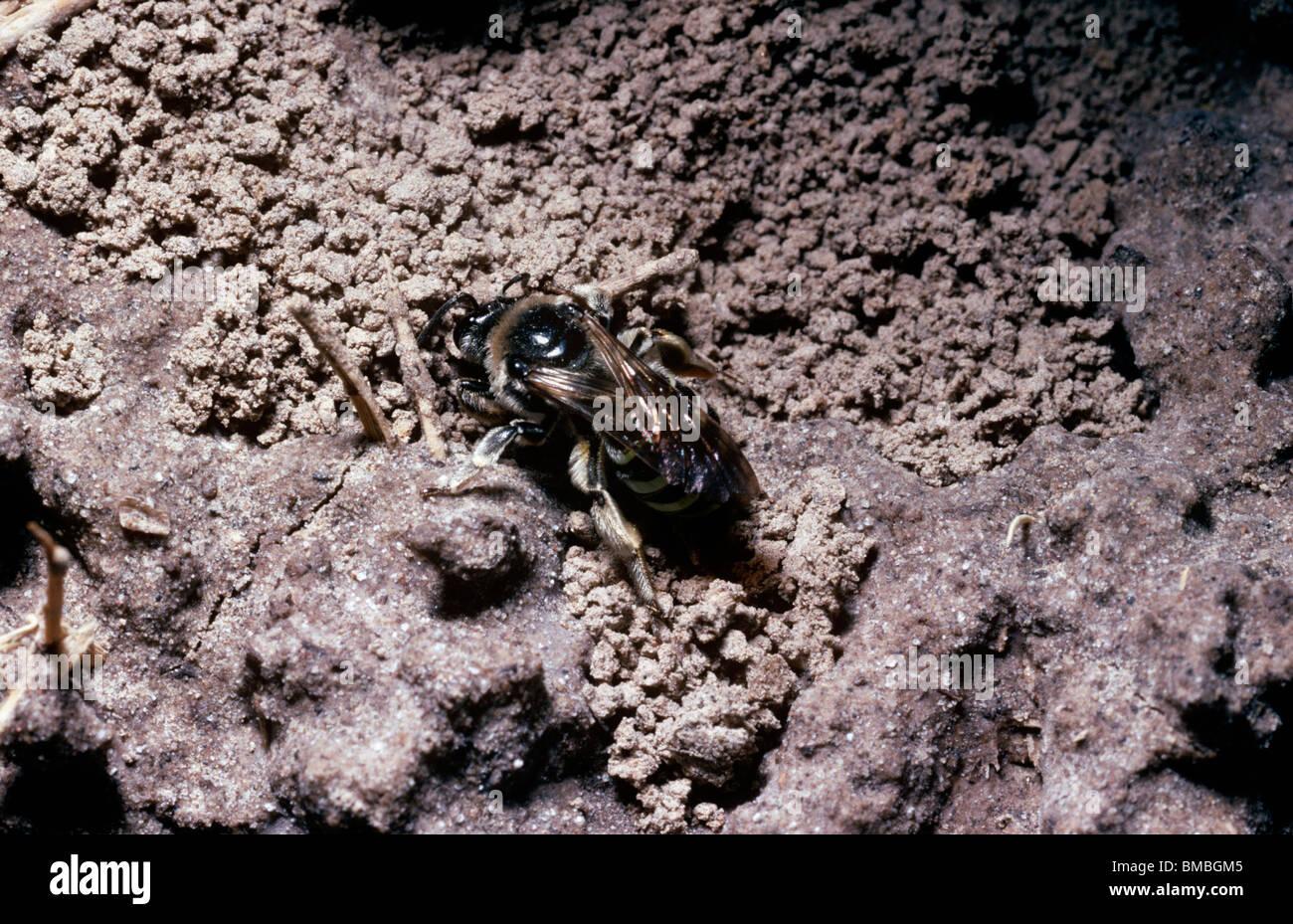 Alkali bee (Nomia melanderi: Halictidae) digging her nest burrow on an alkali flat in desert, Utah, USA - Stock Image