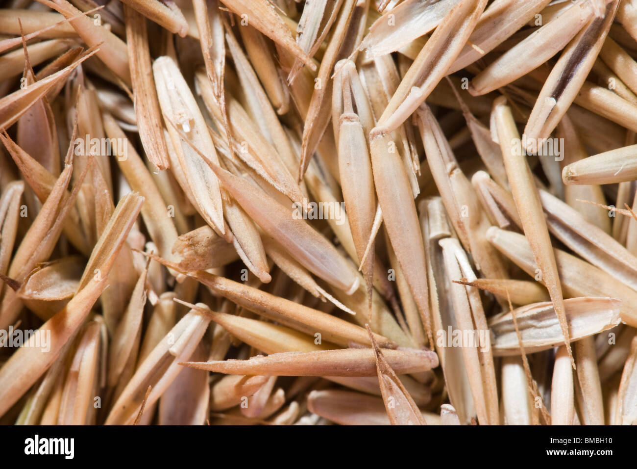 Grass seed. Close up - Stock Image
