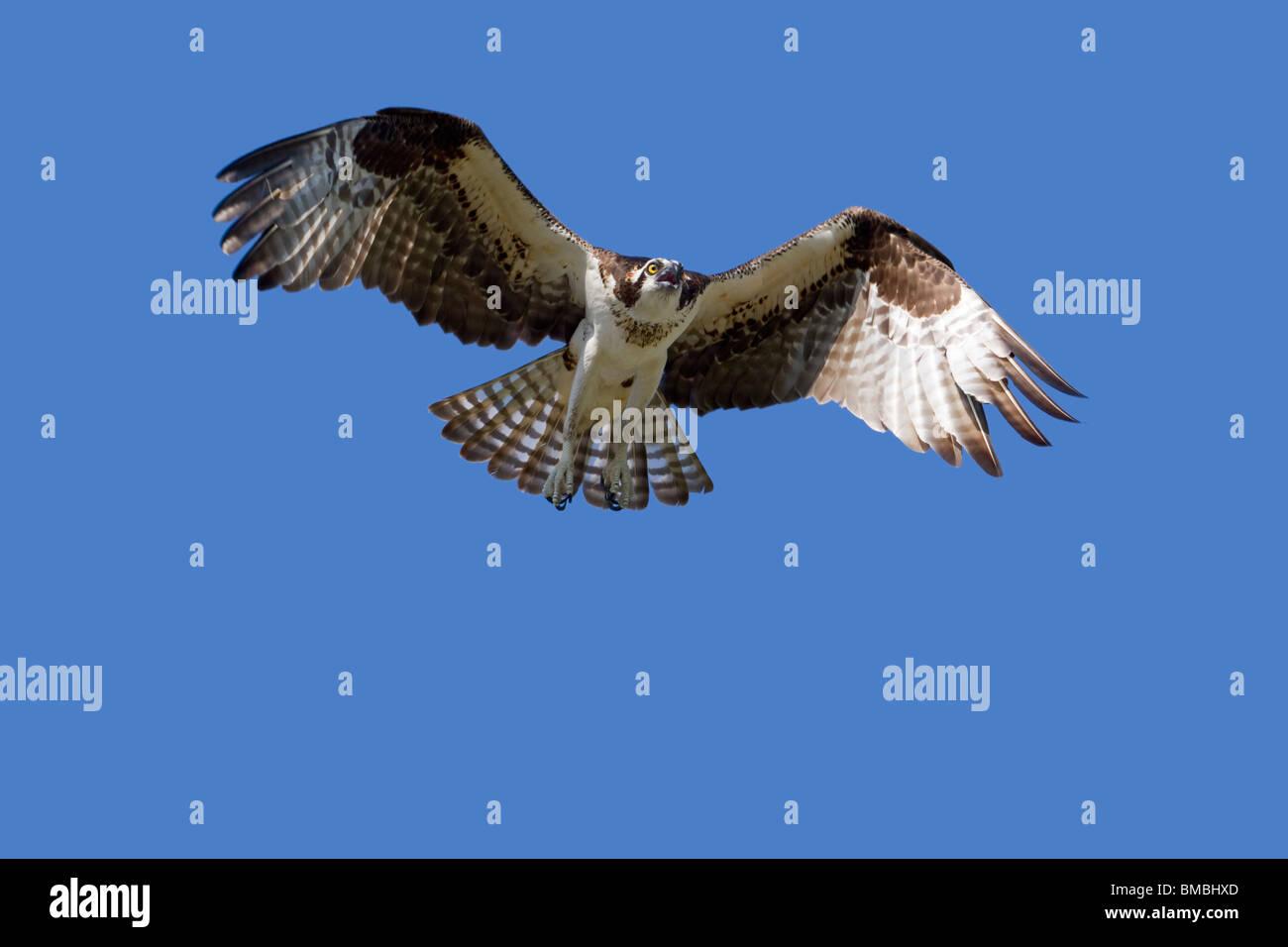 Osprey (Pandion haliaetus) flying. - Stock Image