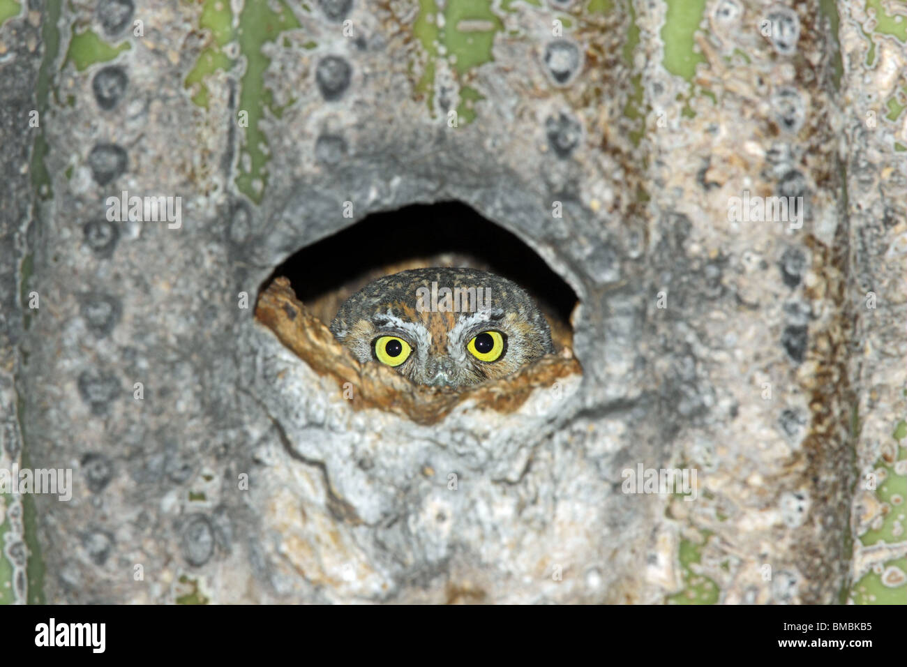 Elf Owl female peering from nest hole in Saguaro cactus. - Stock Image