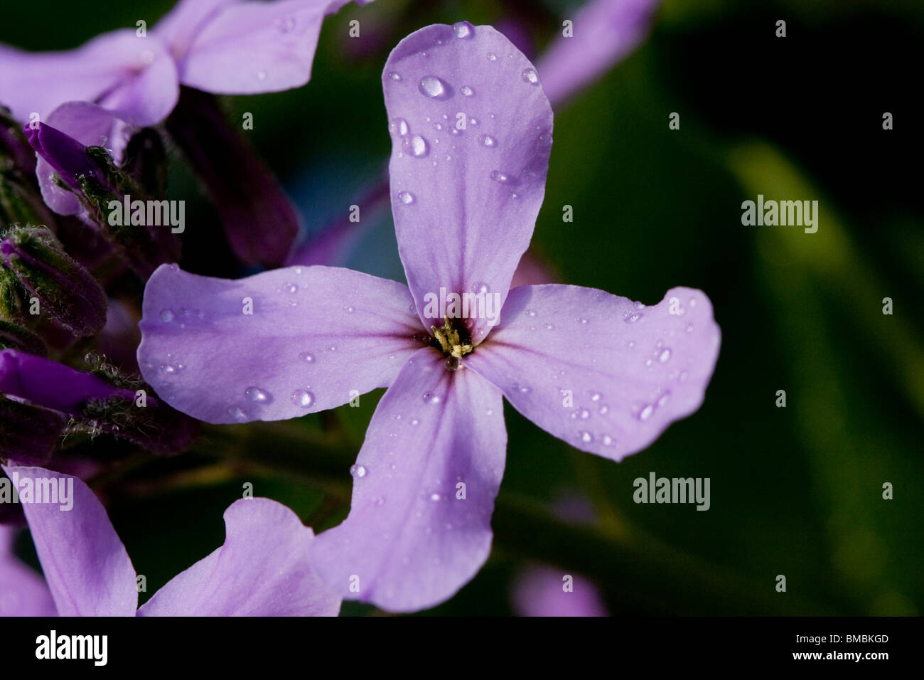 A lilac flower - Stock Image