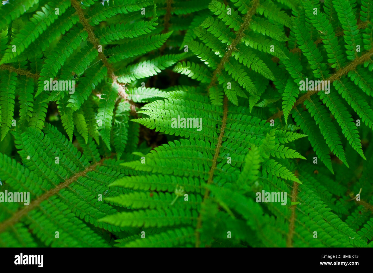 A fern blooms to life in the temperate rainforest of the Bovey Valley, Devon, United Kingdom. - Stock Image