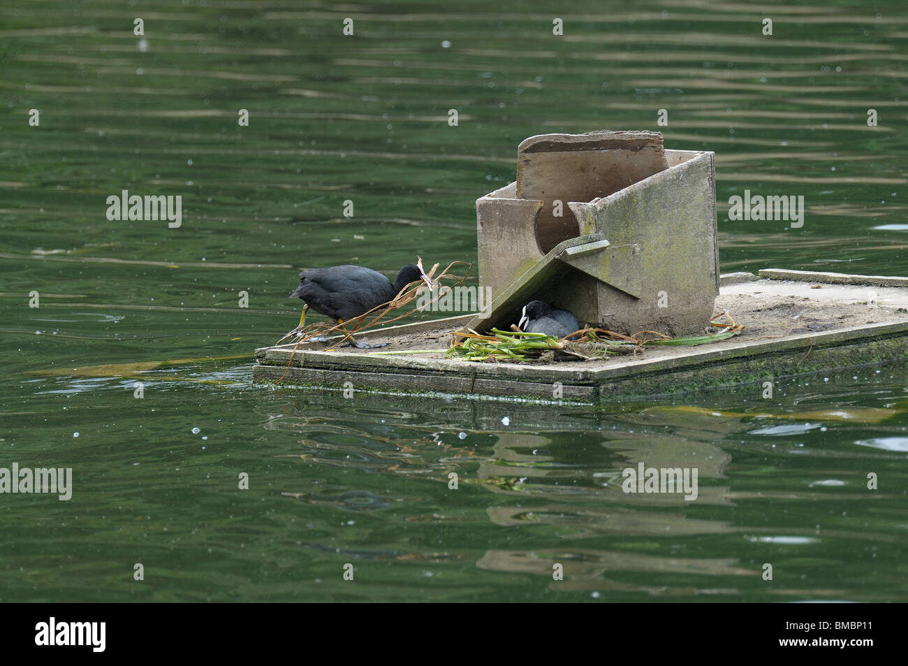 Coots nest building on a raft Stock Photo