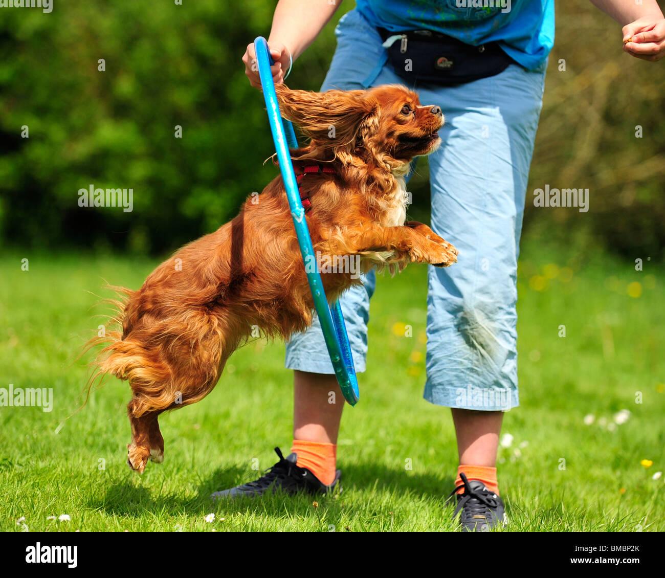 cavalier king charles spaniel jumping through a hoop - Stock Image