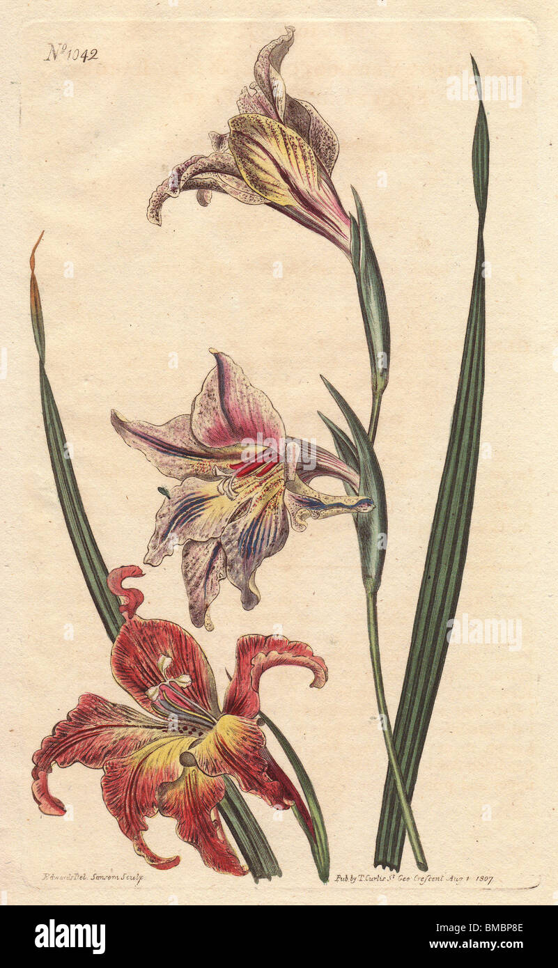 Large-flowered Corn-flag, Large Brown Afrikaner  Gladiolus liliaceus - Stock Image