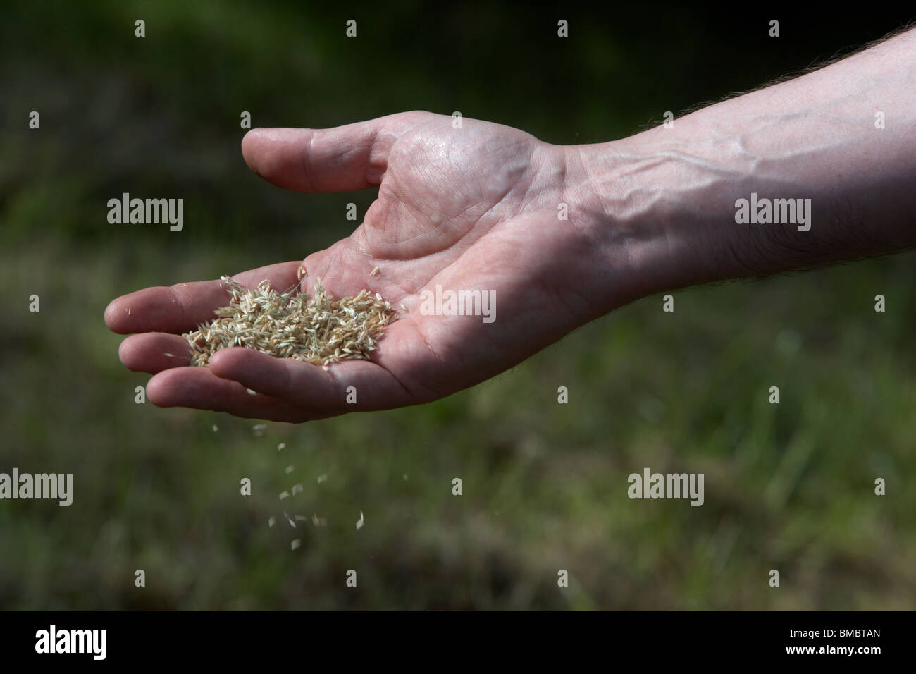 mans hand scattering grass seeds in a garden over a lawn - Stock Image