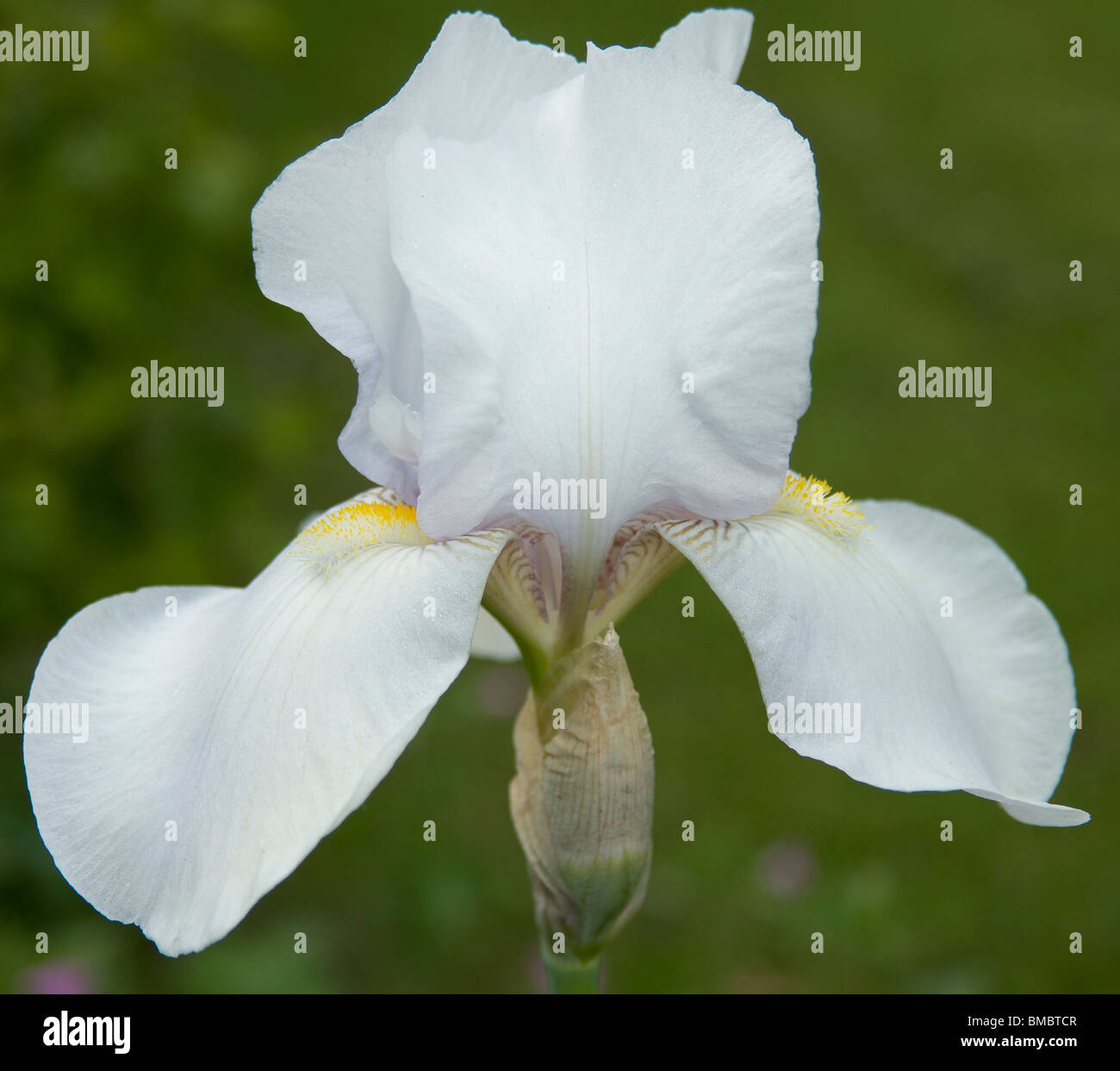 Close up of a white Iris, of the division iberica. - Stock Image