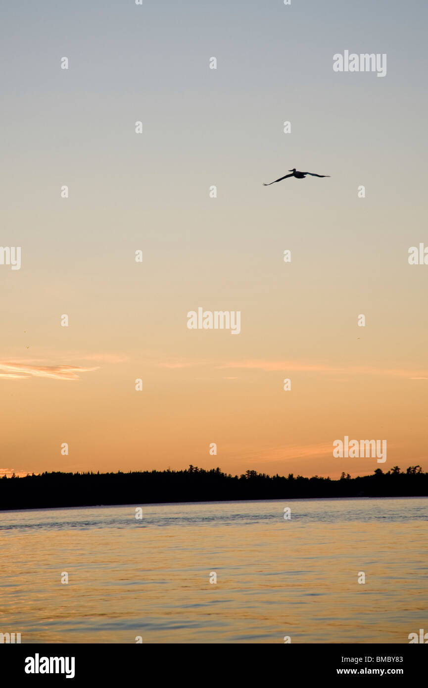 Lake Of The Woods, Ontario, Canada; Bird In Flight Above Lake With Sunset - Stock Image
