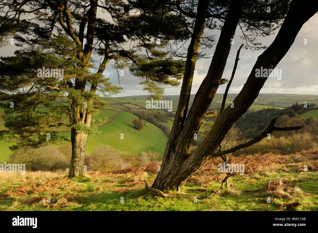 A pair of pine trees, sidelit by the morning sun, atop a hill on Exmoor. - Stock Image