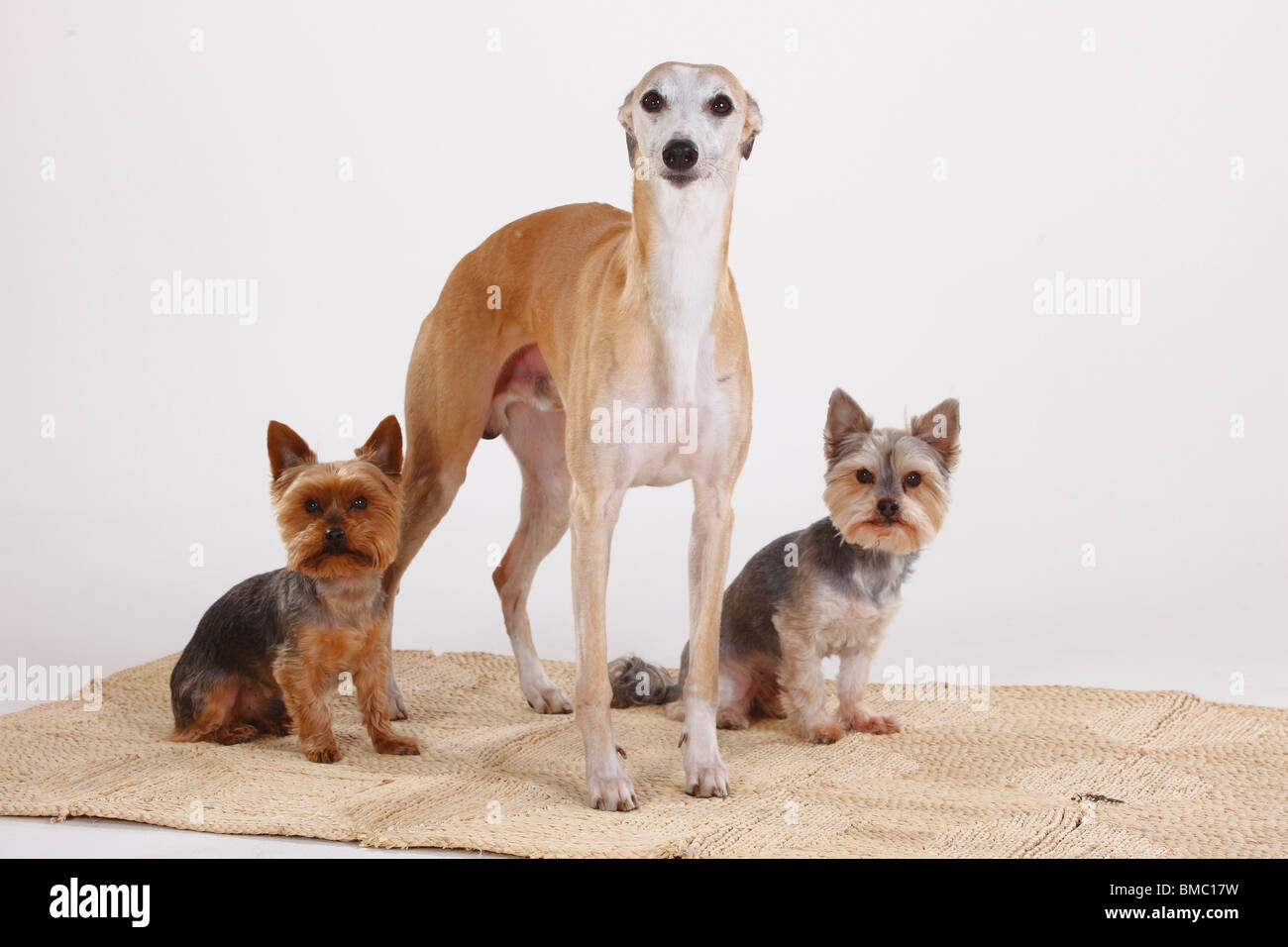 Whippet, Yorkshire Terrier and Mixed Breed Dog (Yorkshire Maltese crossbred) - Stock Image