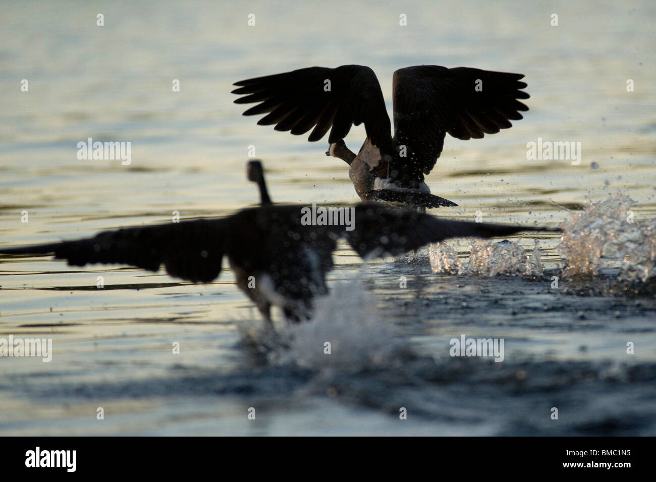 Lake Of The Woods, Ontario, Canada; Canada Geese In Flight - Stock Image