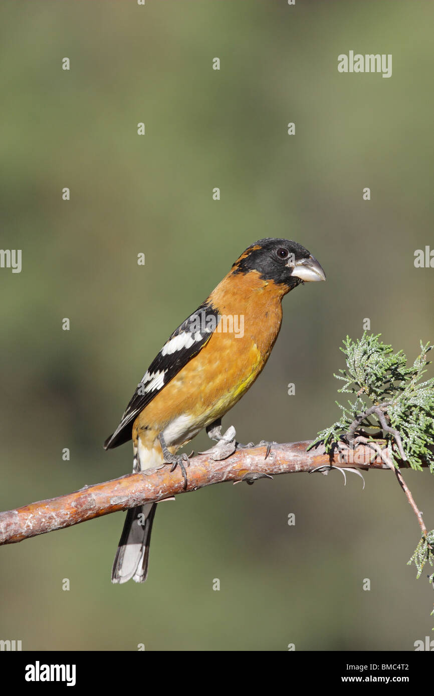 Black-headed Grosbeak Adult Male - Stock Image