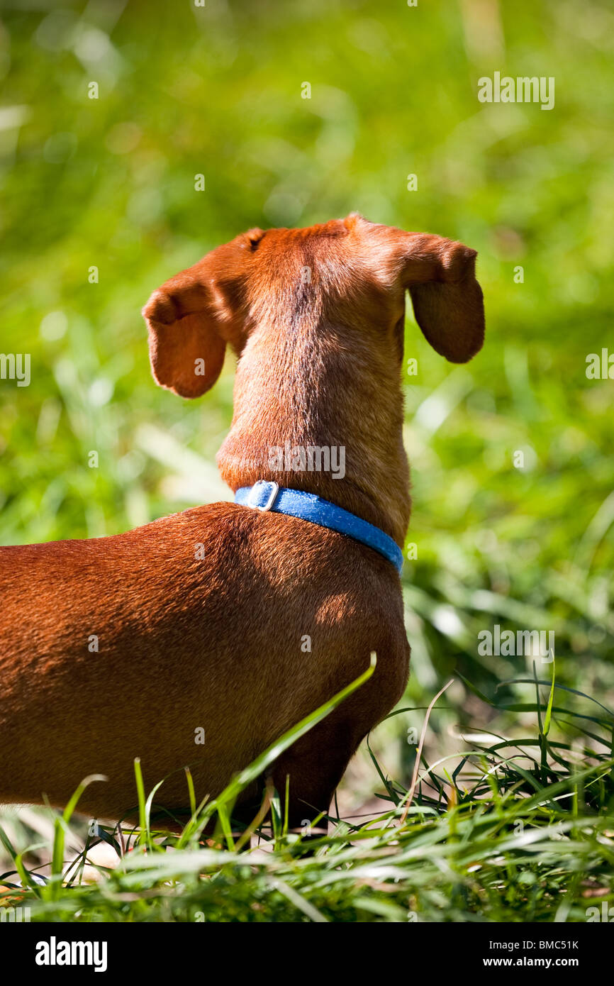 A miniature Dachshund, in the tall grass, looking away from the camera, highlighting his floppy ears. - Stock Image