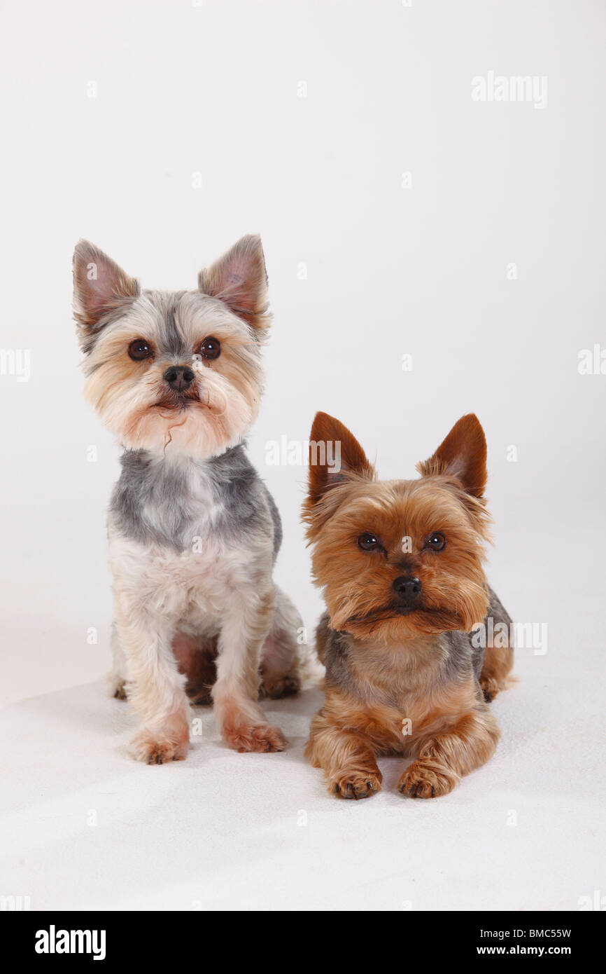 Yorkshire Terrier and Mixed Breed Dog (Yorkshire Maltese crossbred) - Stock Image