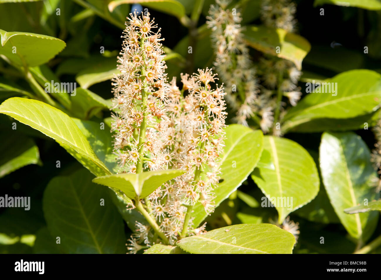 Laurel bush leaves and flowers Stock Photo