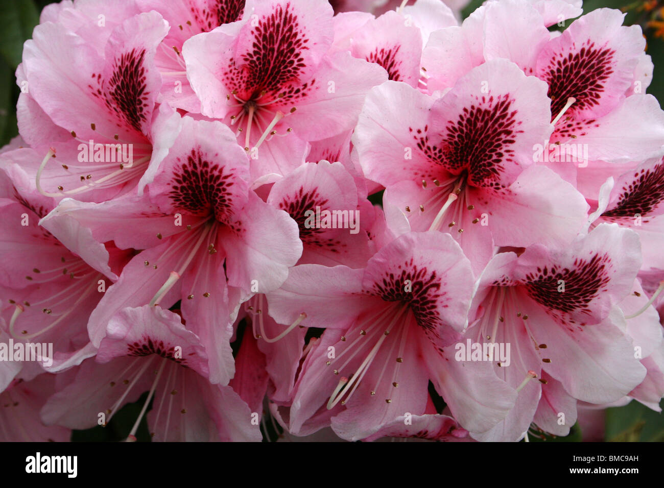 Pink Rhododendron With Flaring Red Centre Taken In Liverpool, Merseyside, UK - Stock Image