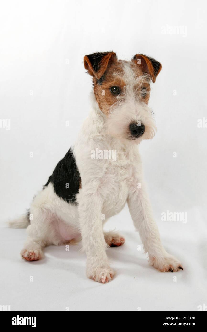Funky Wire Fox Terrier Breeders Virginia Ensign - Simple Wiring ...