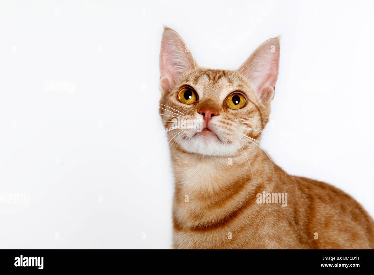 Ocicat Portrait - Stock Image