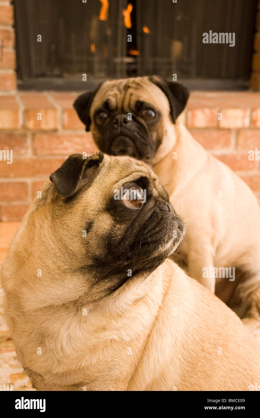 Two Pugs in Front of the Fire - Stock Image