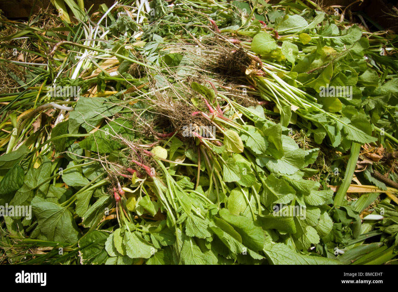 Radishes and other plants in a compost pile in a community garden in New York on Saturday, May 29, 2010. (© - Stock Image
