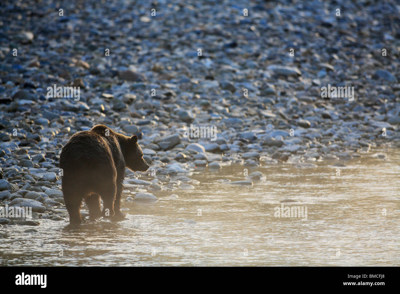 Grizzly bear walking - photo#41