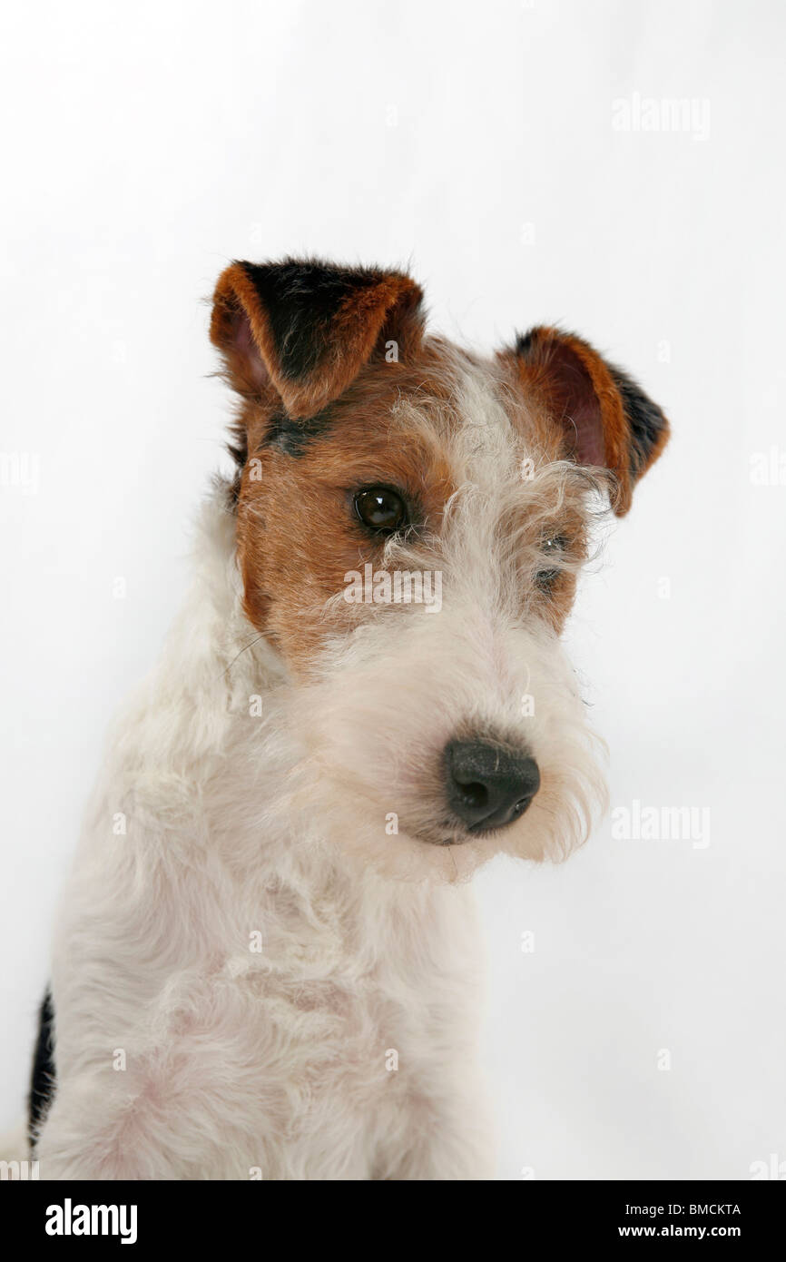 Contemporary Wirehaired Terrier History Adornment - Wiring Diagram ...