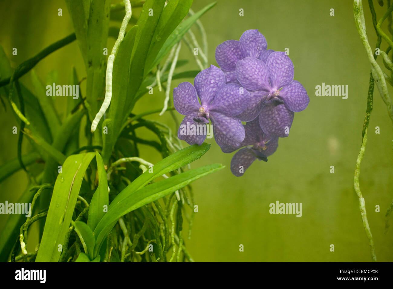 Vanda, Manivadee 'Sky', orchid family - Stock Image