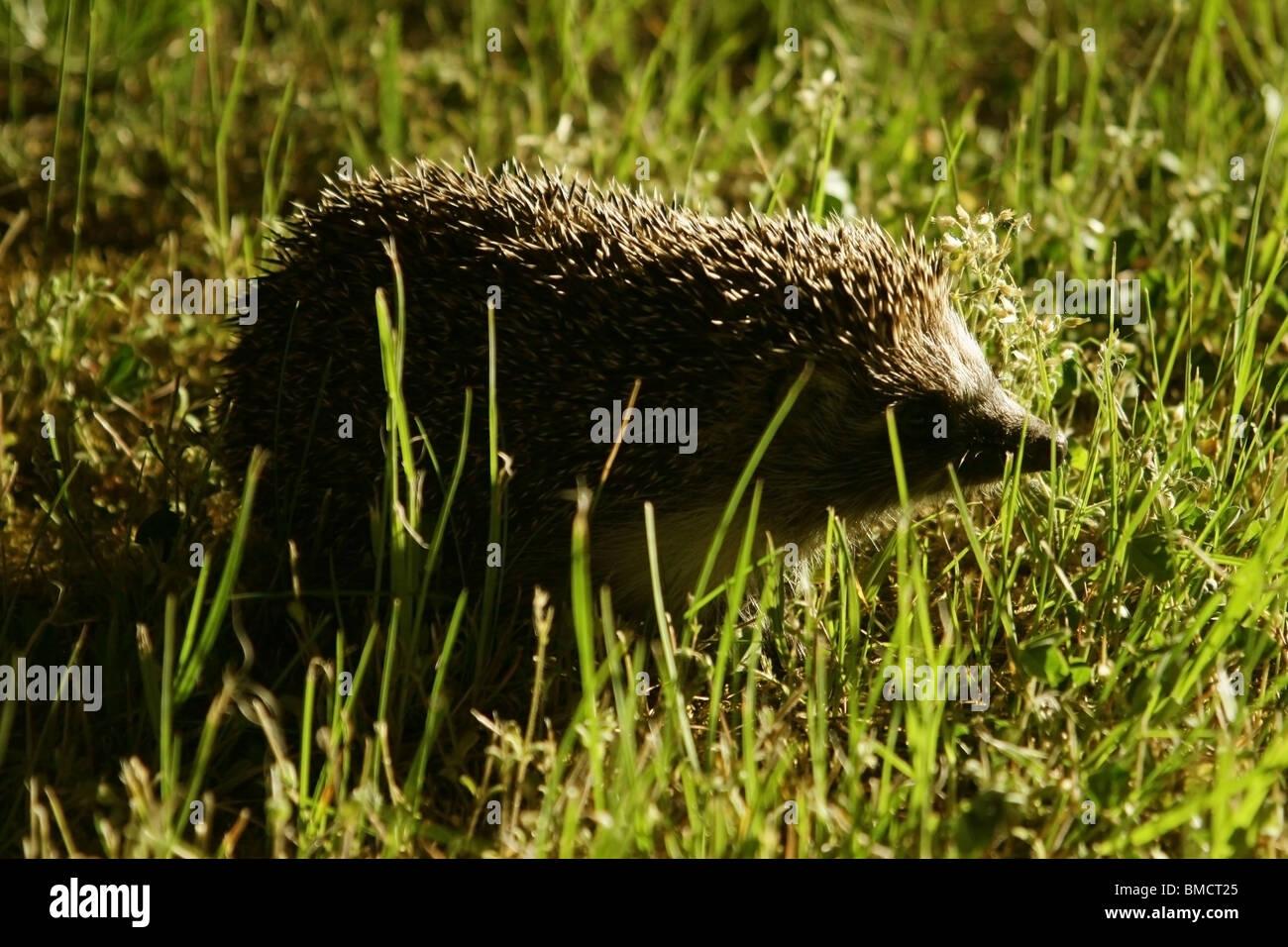 hedgehog on grass - Stock Image