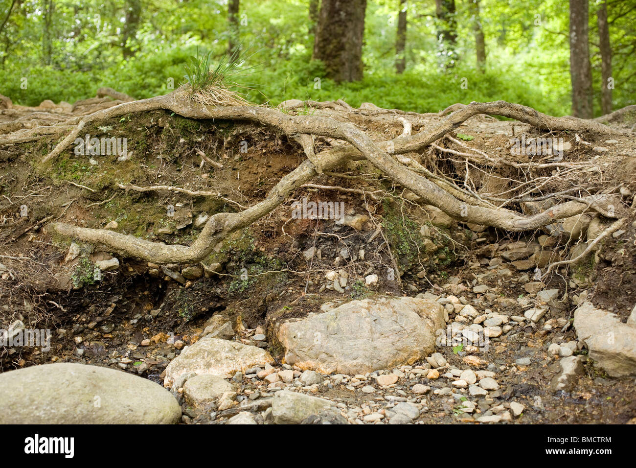 decay,decaying,tree,roots,branch,branches,stump.clay,soil,dump.exposed,root,plant,knarled,twisted,entwine,entwines,interweaving, - Stock Image