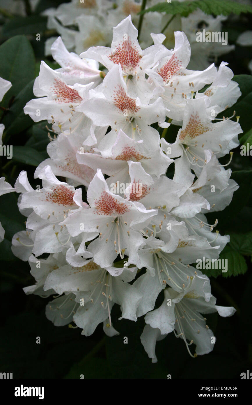 White Rhododendron With Flaring Red Centre Taken In Liverpool, Merseyside, UK - Stock Image
