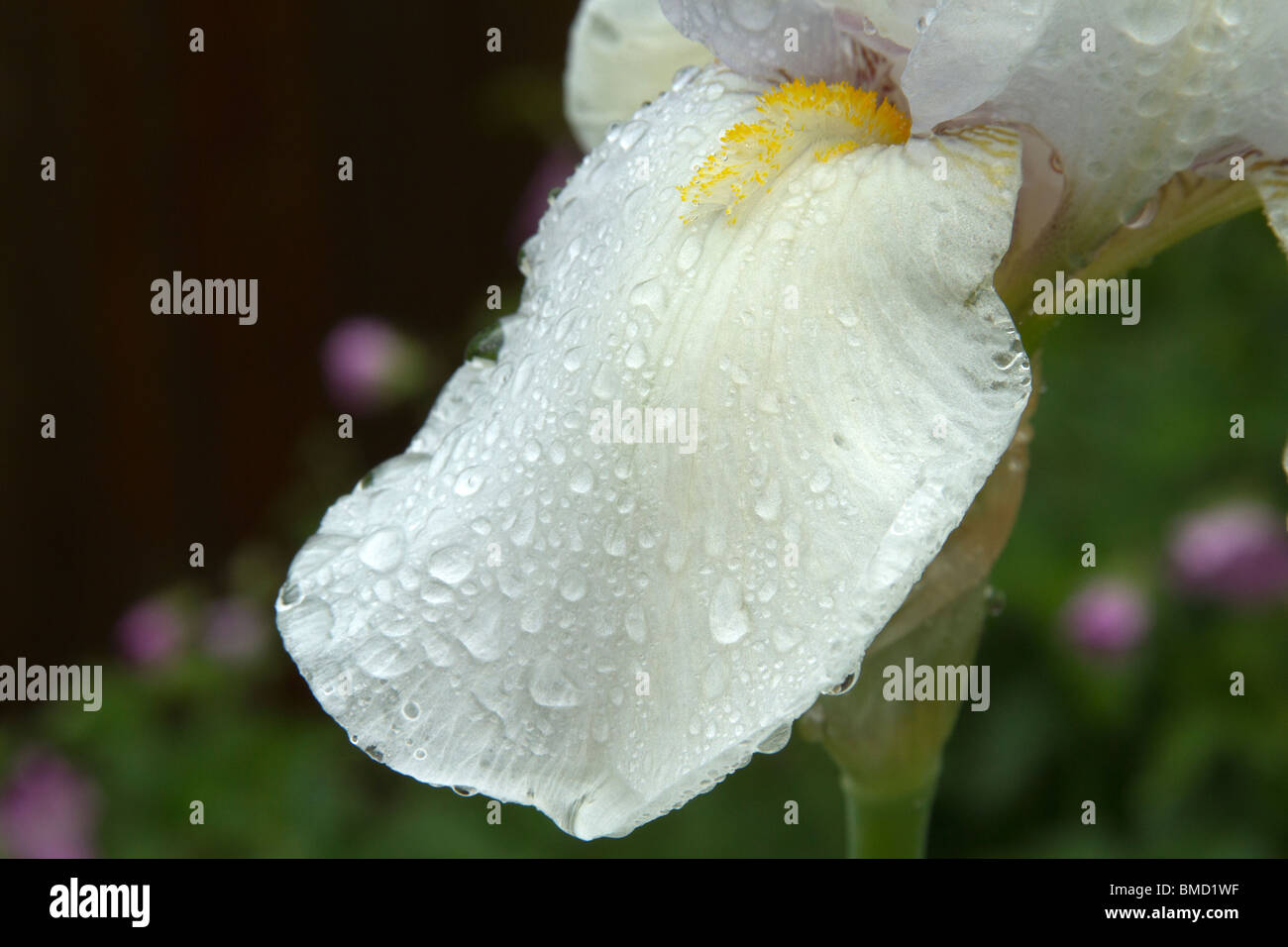Close up of a white Iris, of the division iberica, after the rain. - Stock Image