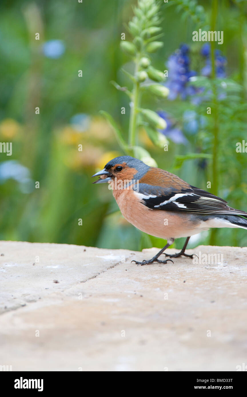 Male chaffinch on a garden wall garden eating seed - Stock Image