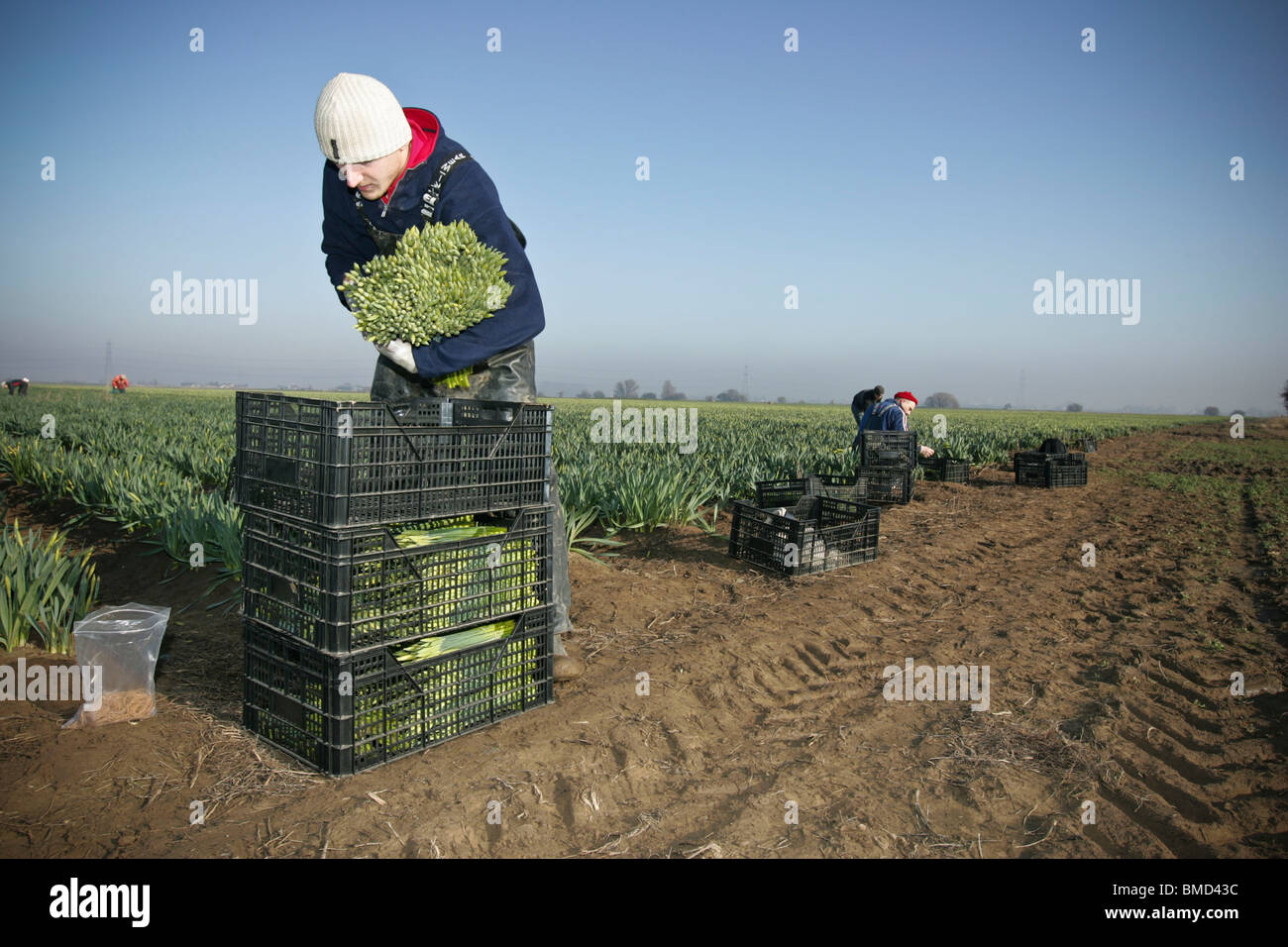 Migrant workers picking daffodils in the fields of the Linconshire Fens - Stock Image