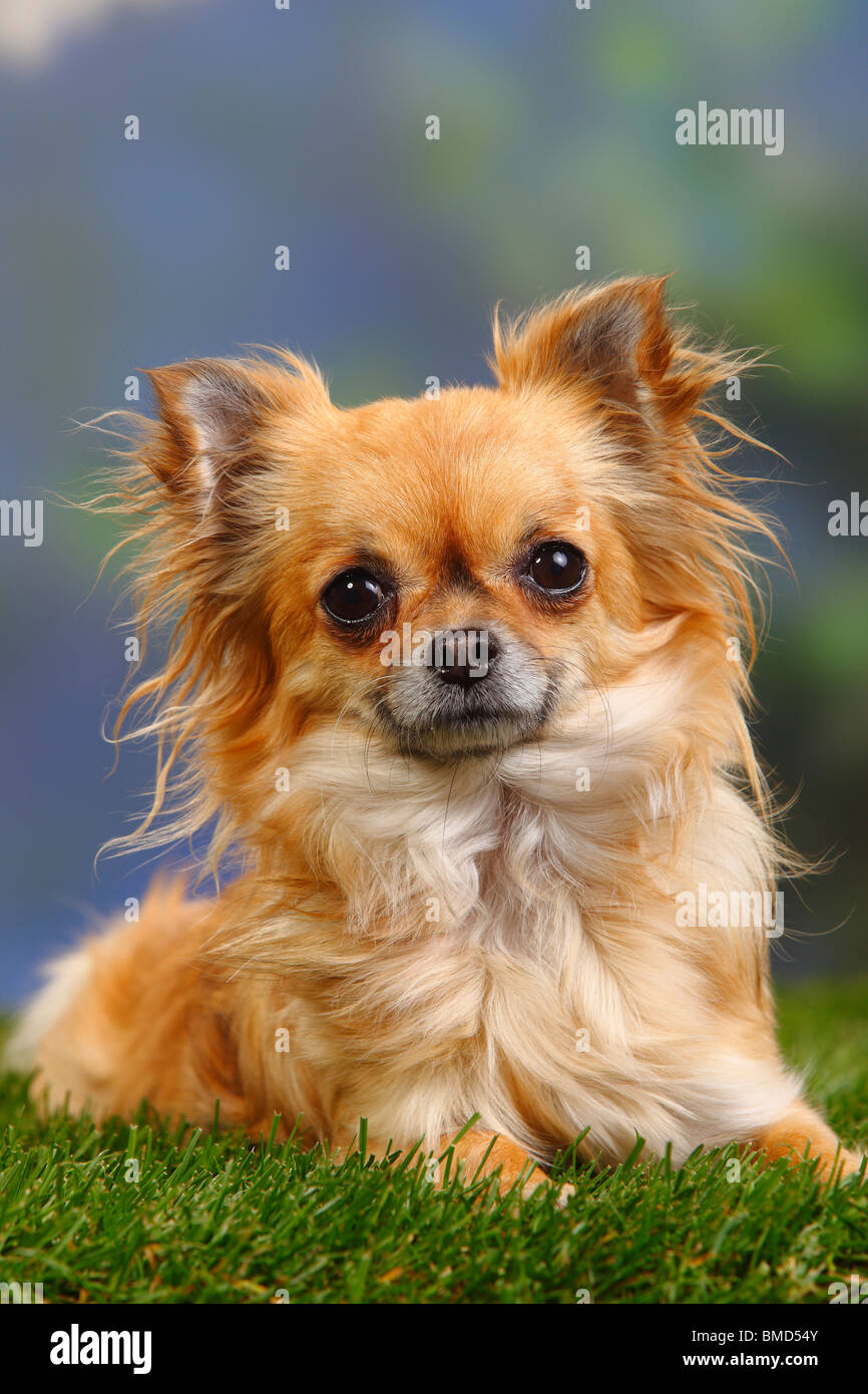 Chihuahua, longhaired - Stock Image
