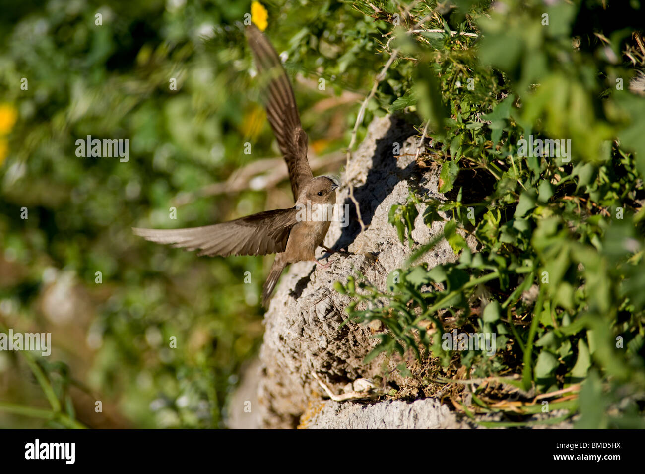Crag Martin with wings open touching down on rock face - Stock Image