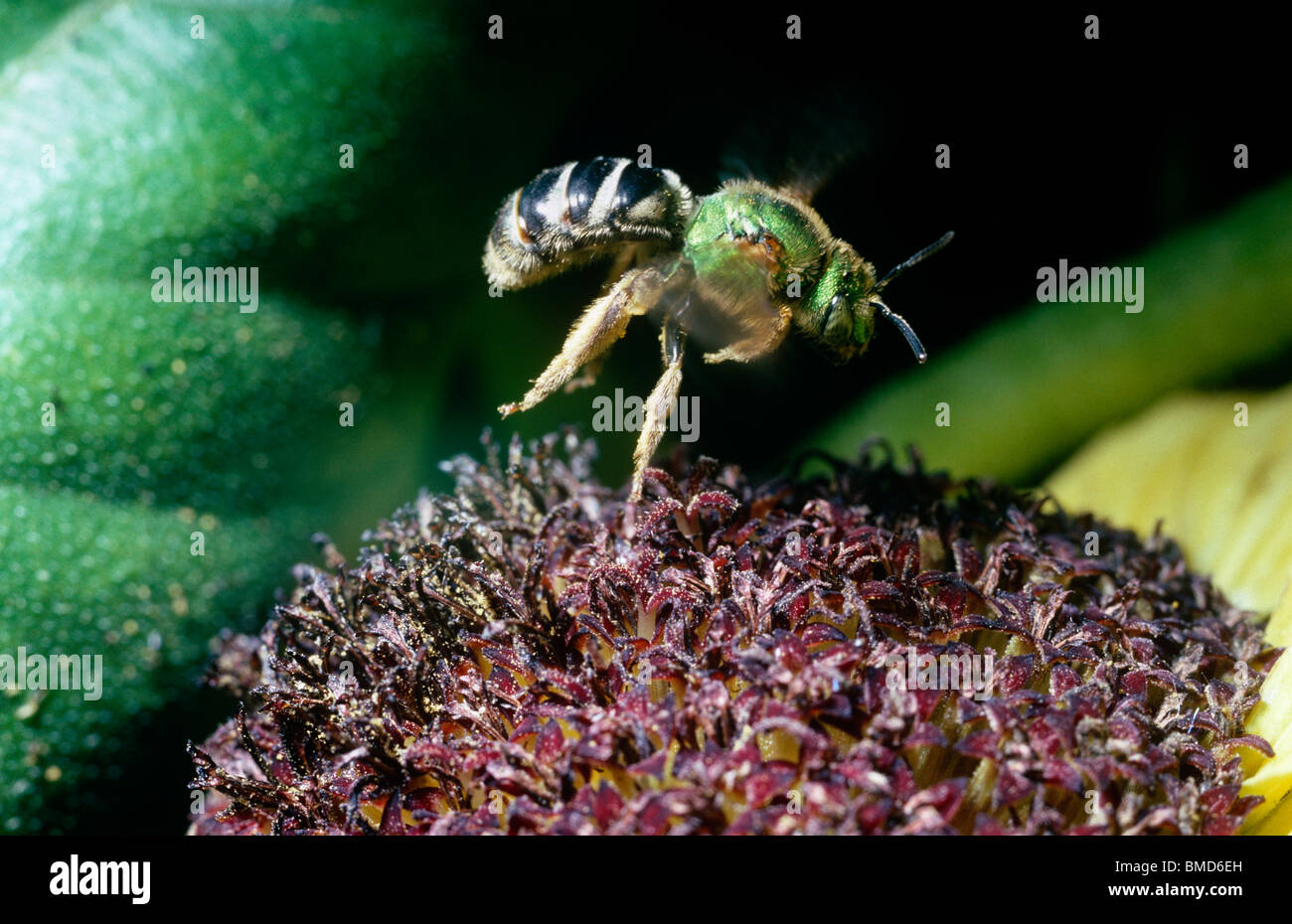 Virescent green metallic bee (Agapostemon virescens: Halictidae) about to land on a zinnia flower, USA - Stock Image