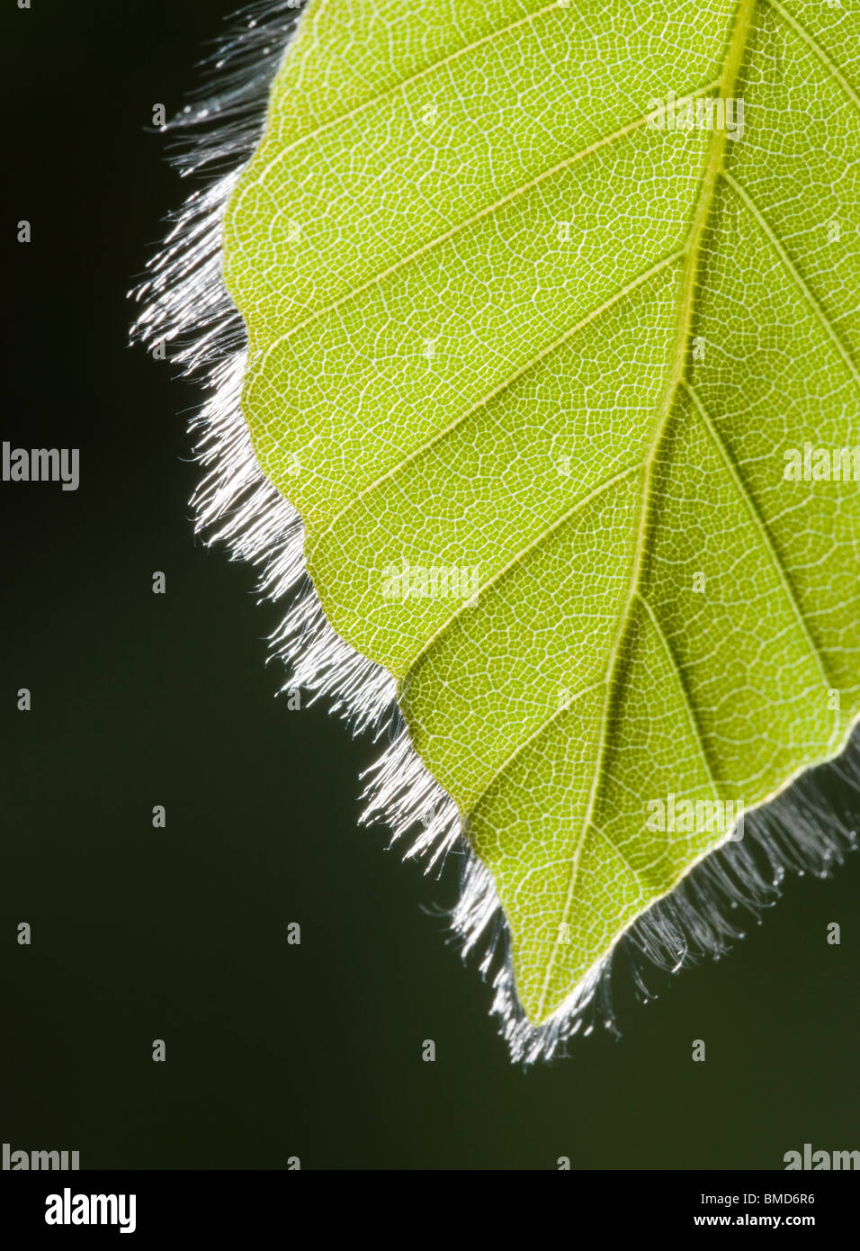 Beech leaf in spring, Fagus sylvatica - Stock Image