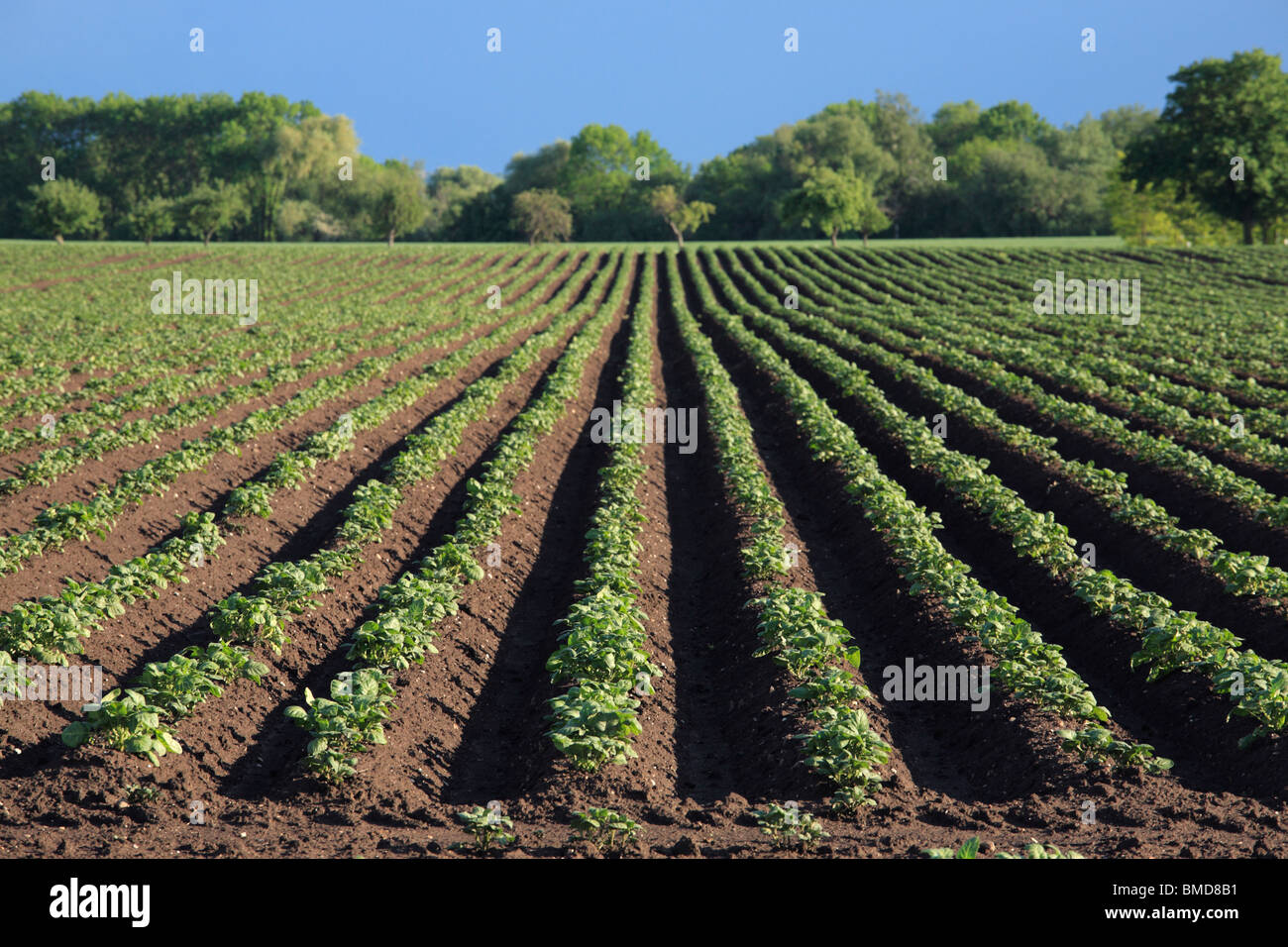 potato field end of May - Stock Image