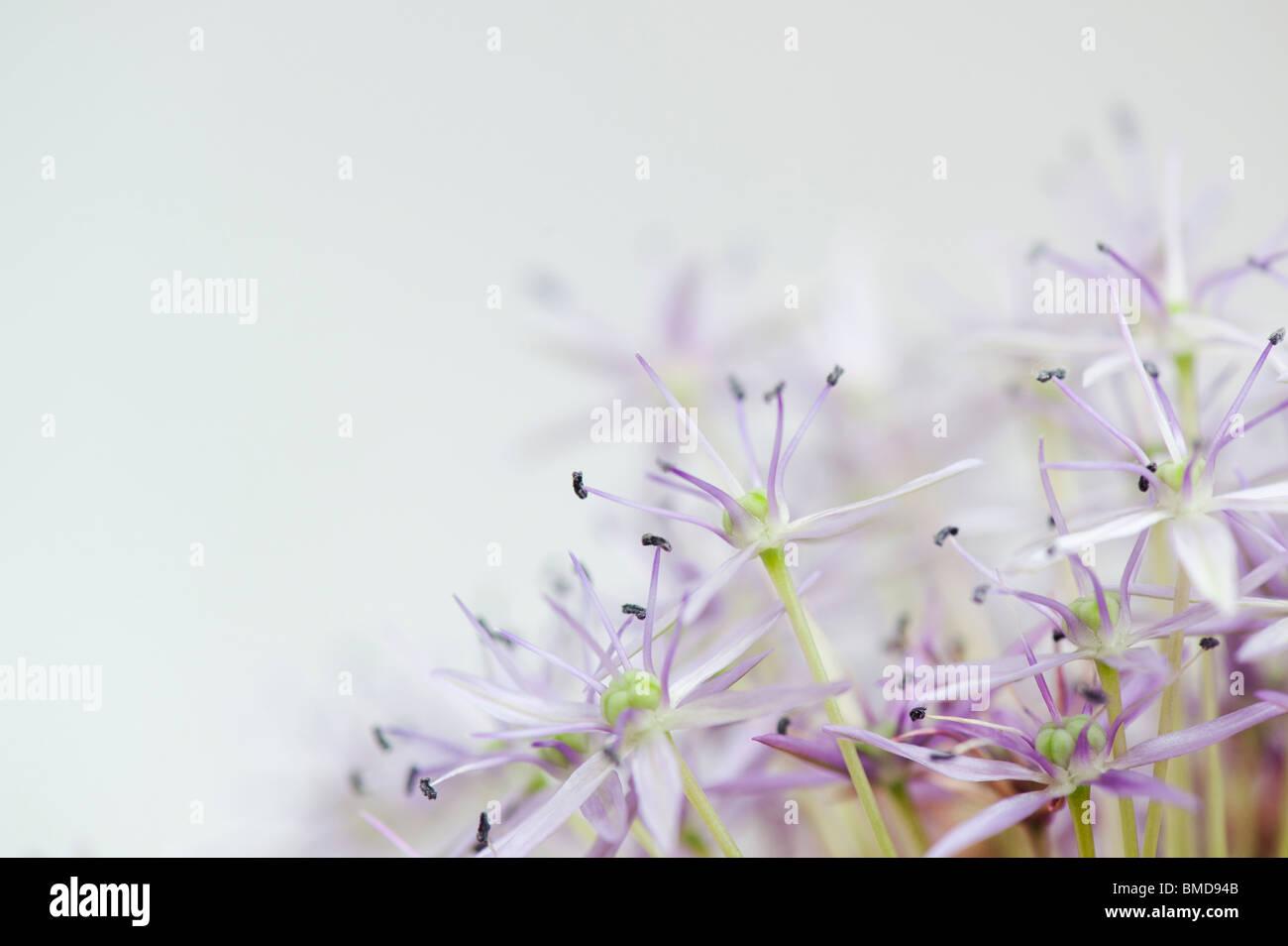 Fading Allium 'globemaster' flower on white background - Stock Image