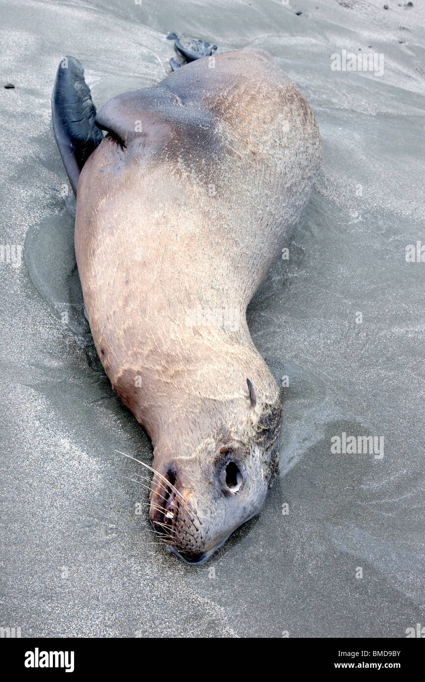 Immature Sea Lion 'yearling' deceased, beach. - Stock Image