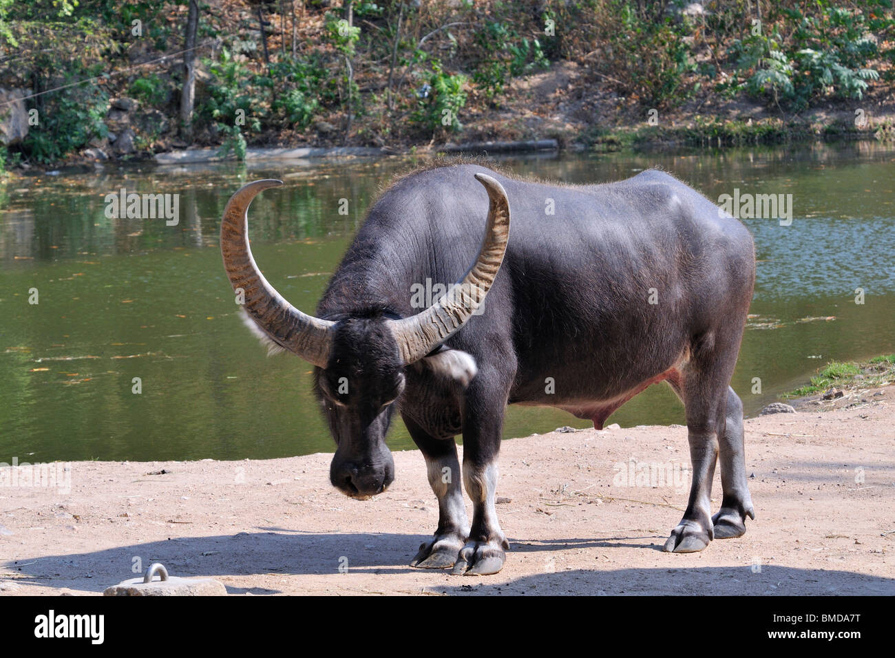 having-sex-asian-water-buffalo-pictures