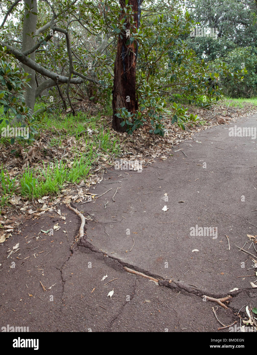 Tree root protruding through a path. - Stock Image