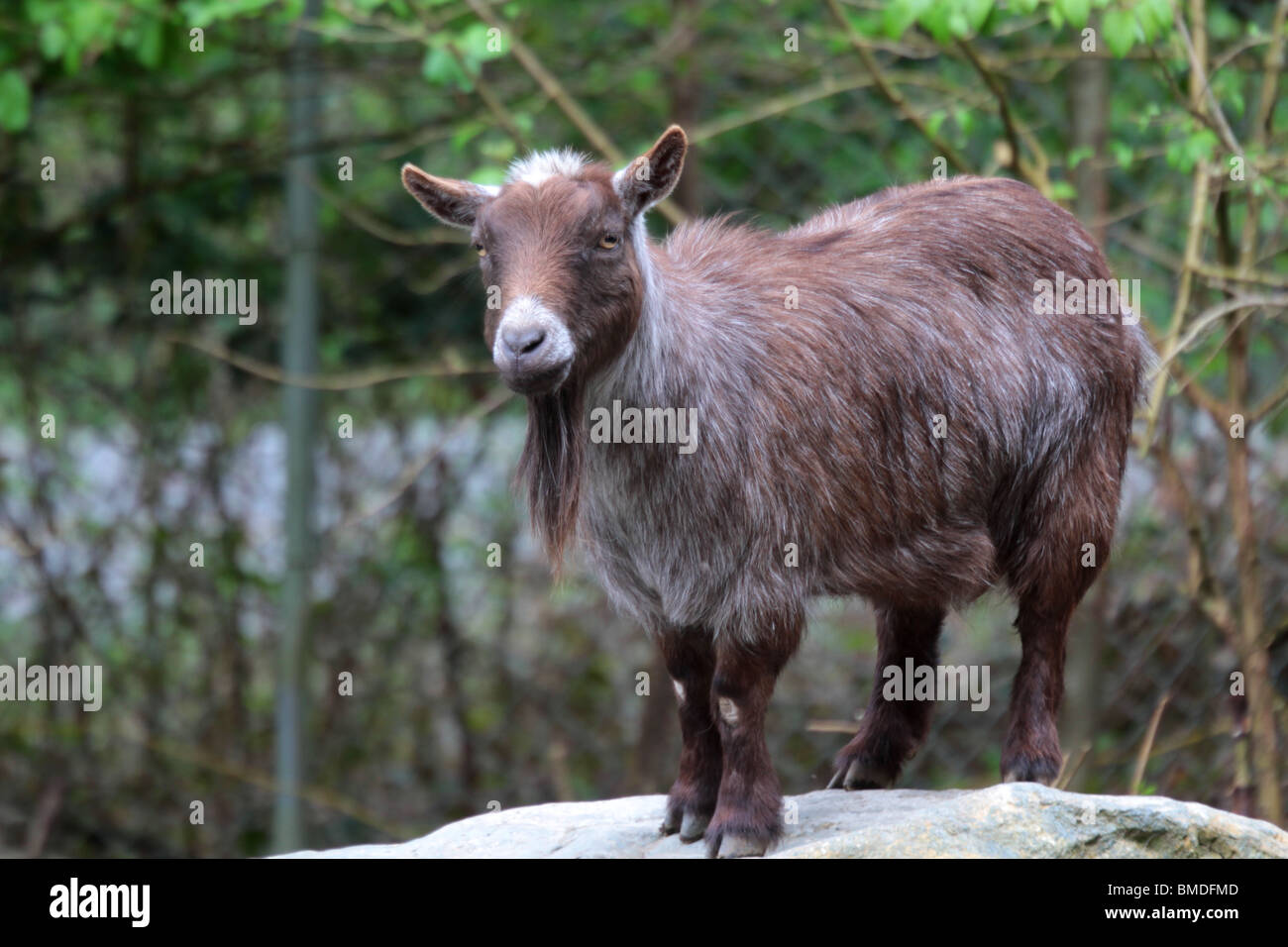 female pygmy goat on a rock - Stock Image