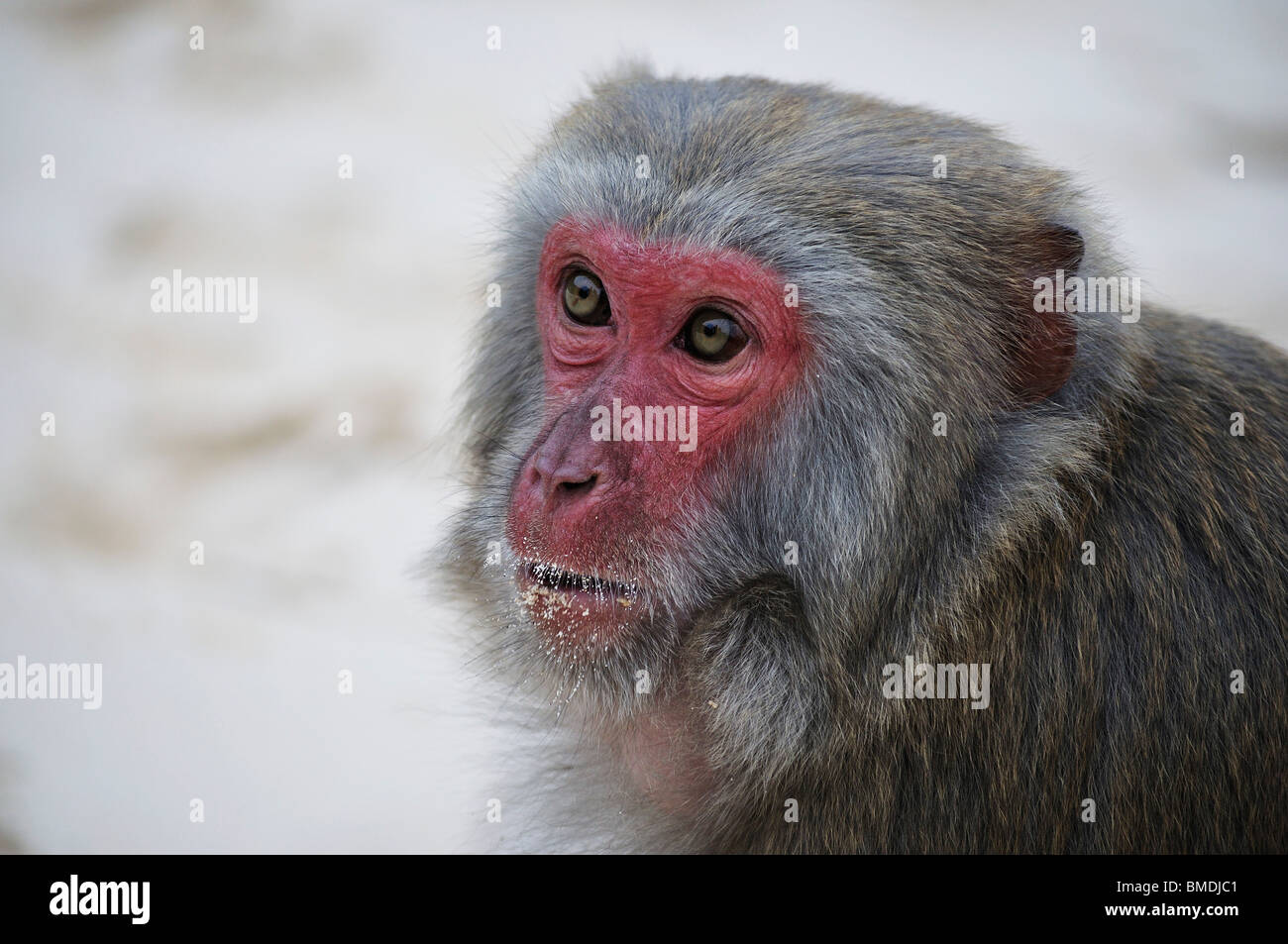Monkey, Monkey Island, Halong Bay, Quang Ninh Province, Vietnam Stock Photo